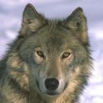 Фотография пользователя Волк-одиночка