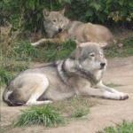 Волкоед фотография